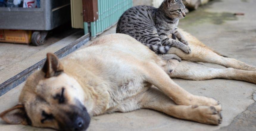 perro maron acosta en la calle y tiene en sus patas encima un gato de color gris